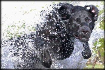 Holzinger Kennels Stud Dog - Ty